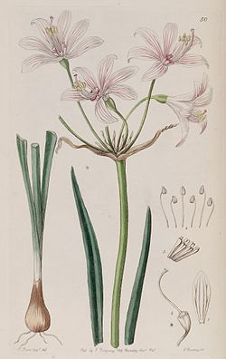 Placea ornata Miers, Edwards's Bot. Reg. 27. 50. 1841.jpg