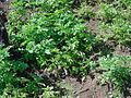 Plantacao de batata.JPG