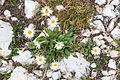 Plants from Vallon peaks Sella 03.jpg