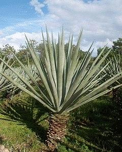 Plantsisal