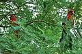 Platycercus elegans x2 -in tree-8.jpg