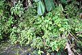 Plectranthus scutellarioides - El Yunque nat park PR IMG 2126.JPG