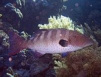 Plectropomus pessuliferus.jpg