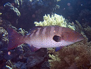 Roving coral grouper Species of fish