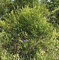 Pod lipskiem krzew do ident. 17.07.09 pl2.jpg