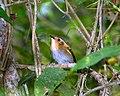 Poecilotriccus plumbeiceps -Reserva do Morro Grande, Brazil-8.jpg