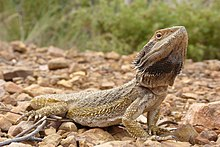 Eastern bearded dragon - The complete information and online