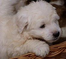 Polish Tatra Sheepdog puppy.jpg
