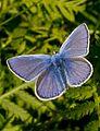 Polyommatus icarus wings open.jpg