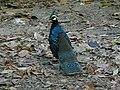 Polyplectron napoleonis, St Pauls National Park, Palawan 1.jpg