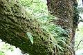 Polypodium vulgare Scotland.jpg