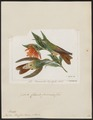 Polytmus riefferi - 1820-1860 - Print - Iconographia Zoologica - Special Collections University of Amsterdam - UBA01 IZ19100189.tif
