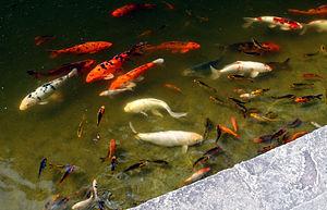 Estanque Koi Wikipedia La Enciclopedia Libre - Estanques-peces