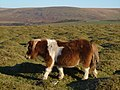 Pony on Cudlipptown Down 2 - geograph.org.uk - 297434.jpg