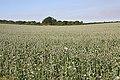 Poppy fields on Whitsbury Down - geograph.org.uk - 203669.jpg