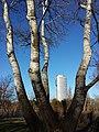 Populus alba sl1.jpg