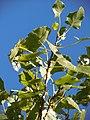 Populus deltoides (5027342562).jpg