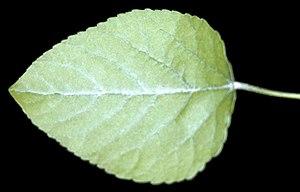Populus heterophylla - Image: Populus heterophylla NRCS 1