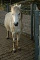 Portrait Welsh Pony.JPG