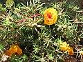 Portulaca grandiflora 01.jpg