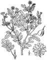 Potentilla paradoxa drawing 02.png