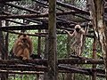 Primates - Endangered Primate Rescue Center, Cuc Phuong National Park (37610616456).jpg