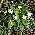 Primrose on the Hedgebank - geograph.org.uk - 363531.jpg