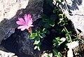 Primula integrifolia (pyrenees).JPG