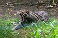 Prionailurus viverrinus Fishing cat Pont-Scorff Zoo 17082015 3.jpg