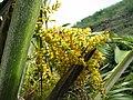 Pritchardia martii (5249645703).jpg