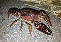 Procambarus clarkii walking beside rice field at night.jpg