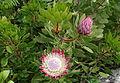 Protea - Jardin exotique de Roscoff 3.JPG