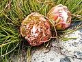 Protea montana rebeccaryan iNat 39755299b.jpg