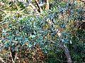 Protorhus longifolia, lower, Krantzkloof NR.jpg