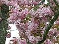 Prunus 3.JPG