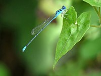 Pseudagrion microcephalum at Kadavoor.jpg