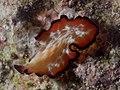 Pseudobiceros fulgor (14408308171).jpg