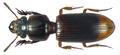 Pseudoclivina grandis (Dejean, 1826).png