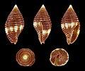 Pseudonebularia cucumerina 01.JPG