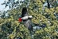 Psittacus erithacus -flying-8a.jpg