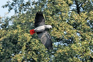 A Congo African Grey Parrot flying. Deutsch: G...