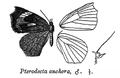 PterodectaAnchora.png