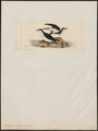 Puffinus obscurus - 1820-1860 - Print - Iconographia Zoologica - Special Collections University of Amsterdam - UBA01 IZ17900027.tif