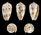 Puncticulis arenatus forma undata.JPG