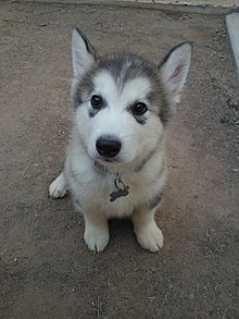 Alaskan Malamute Puppy Two Months Old