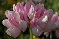 Purple Crownvetch (Securigera varia) - Guelph, Ontario 02.jpg