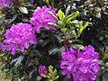 Purple Rhododendrons (35002005092).jpg