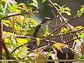 Purple Sunbird (Cinnyris asiaticus) (15707689249).jpg