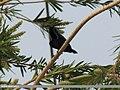 Purple Sunbird (Cinnyris asiaticus) (15862232266).jpg