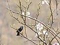 Purple Sunbird Nepal.jpg